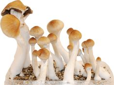 The Taste And Benefits, Both Are Amazing – Buy Shrooms Online